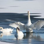 swan-on-wolf-river-wings