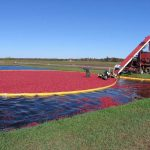 wir-cranberry-harvest-1